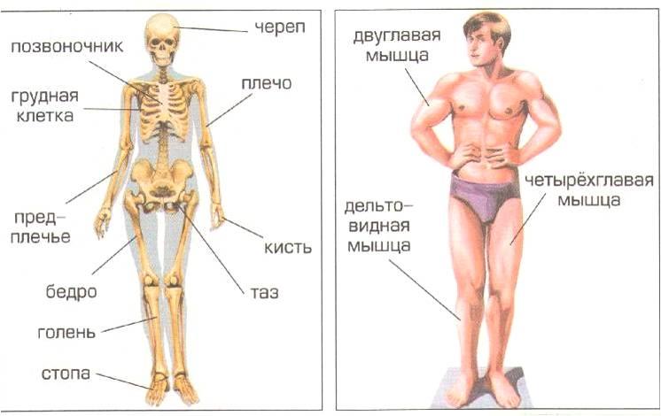 Строение опорно-двигательной системы человека
